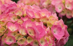 'Let's Dance Big Easy' hydrangea