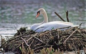 Mute Swans Are Crowding Other Species