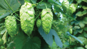 The New Guys: MI Local Hops Stands Out In Growing Hops Industry